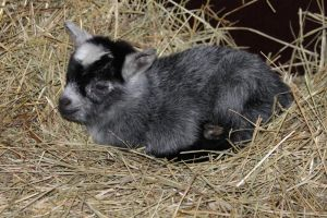 Baby Pygmy Goat by musicalcat