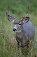 Mule Deer Buck by Iamidaho