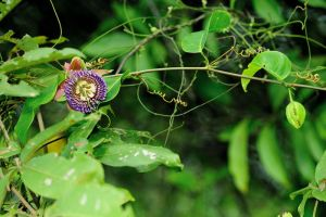 Passiflora sp by inckurei