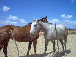 Couples horses stock 3 by SemmyStock