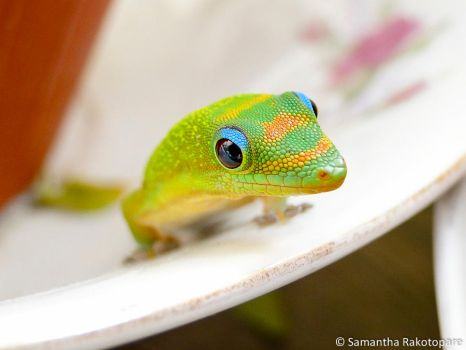 Gold dust day gecko 11 by kitty974