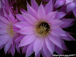 Cactus flower 2 by Gofion