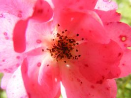another pretty pink flower by BlueIvyViolet