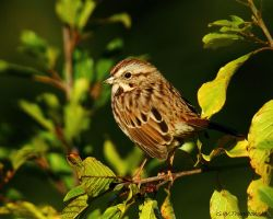 A Little Sparrow by natureguy