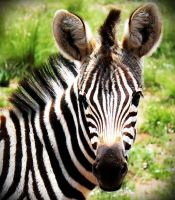 Zebra2 by LS-Coloringlife