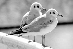 All gulls are equal, some more equal than others by pagan-live-style