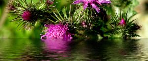 Pink Thistle by riviera2008