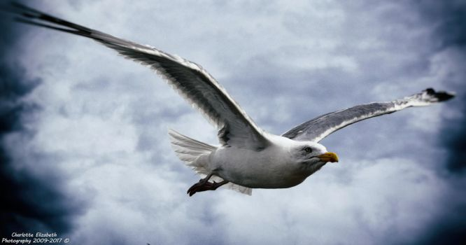 Seagull in Flight by Charlottehall1991