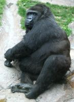 Gage Park Zoo 11 - Gorilla by Falln-Stock