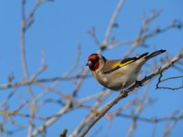 Goldfinch'Carduelis carduelis' by timemit