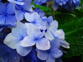 Hydrangea by Alienesse-Stock