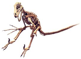 utahraptor skeleton by hannay1982