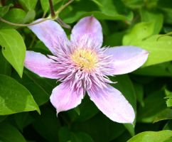 Clematis in the light by MagicCometART