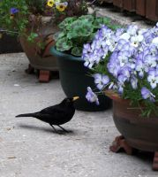 Male Blackbird by Lust0fADeeperPain