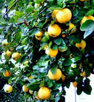 Quinces by Finnyanne