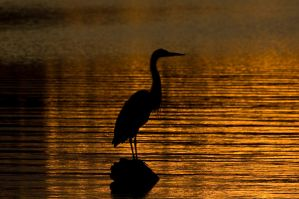 Blue Heron silliot by yamiyalo