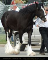 Clydesdale 4 by SalsolaStock