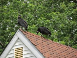 Turkey vulture's 2 by Commanding-photos