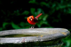 Cardinal Male. 2 by DrPatte