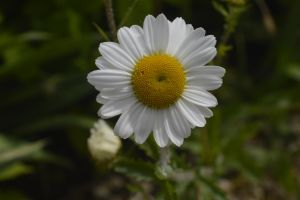 Daisy by Clangston