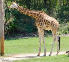Giraffe 01 by Indefinitefotography