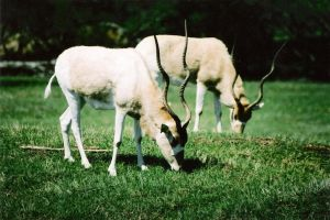 Addax Antelope II by Snotted