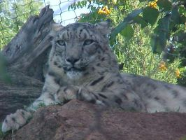 Snow Leopard through fence 2 by imerald
