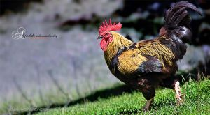 Rooster by msalizadeh
