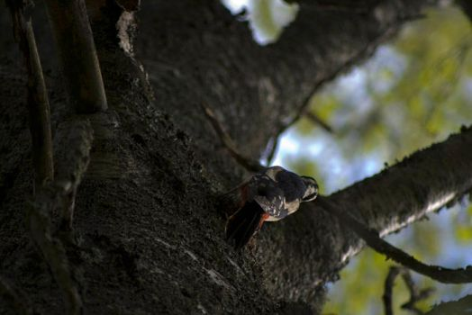 Great Spotted Woodpecker2 by MikaP