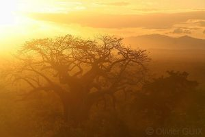 Baobab in the sunset by PyreneesBear