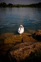 Swanning by by Liam-diamond