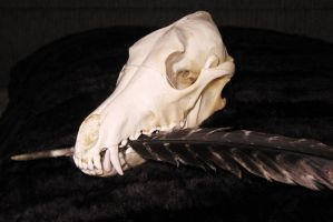 Coyote Skull and tom feather2 by lamelobo