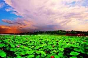 Lotus scenery by sunny2011bj