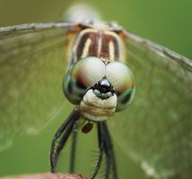 Blue Dasher..,..,,eating by duggiehoo