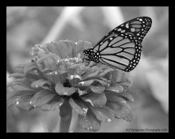 Monarch 7-BW by picworth1000wrds