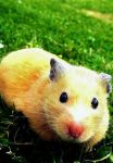 Hamster looking at you. by Mairusu-Paua