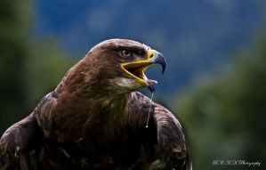 Eagle by PiTurianer