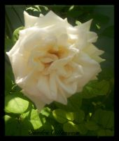 Spring white Rose... by Villenueve