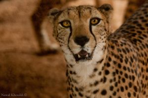 Cheetah Portrait by NawalAckermann