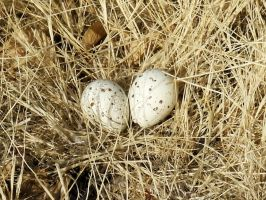 Two Quail Eggs by CharlesNissen