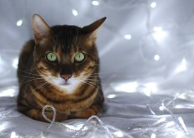 Festive Bengal Cat Stock by FurLined
