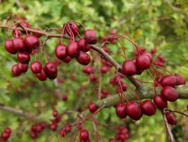 Hawthorn Berries by Softspoken-One