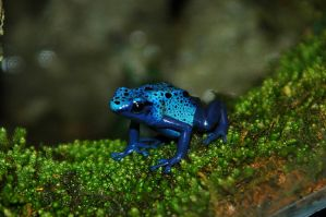 Blue Poison Dart Frog II by LDFranklin