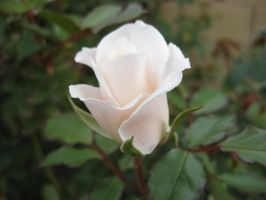 Rose 030315 02 by acurmudgeon