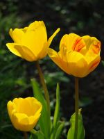 Yellow Tulips 03 by botanystock