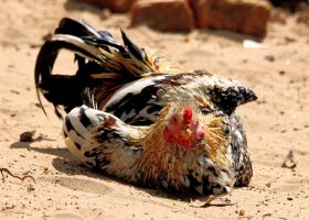 Beach Bum, Jungle Fowl by RixResources