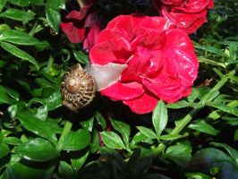 A snail and a rose by panthera-lee