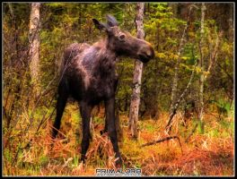 Moose in Algonquin by PrimalOrB