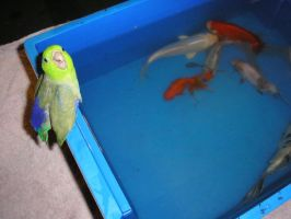 Parrotlet Got Splashed by Hirogoi