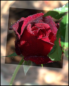 :: Blood Red Rose :: by Silver-Dew-Drop